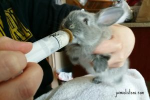 How To Bottle Feed Orphaned Baby Rabbits With Formula