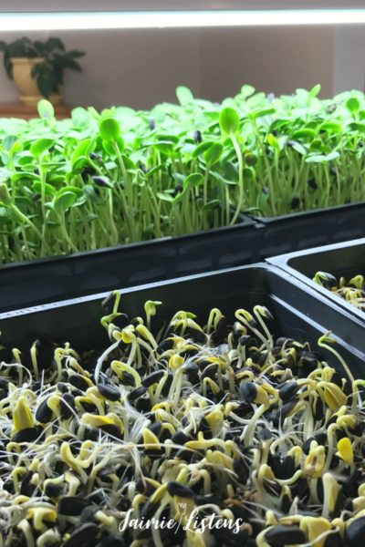 Grow Your Own DIY Sunflower Microgreens in 7 Easy Steps!